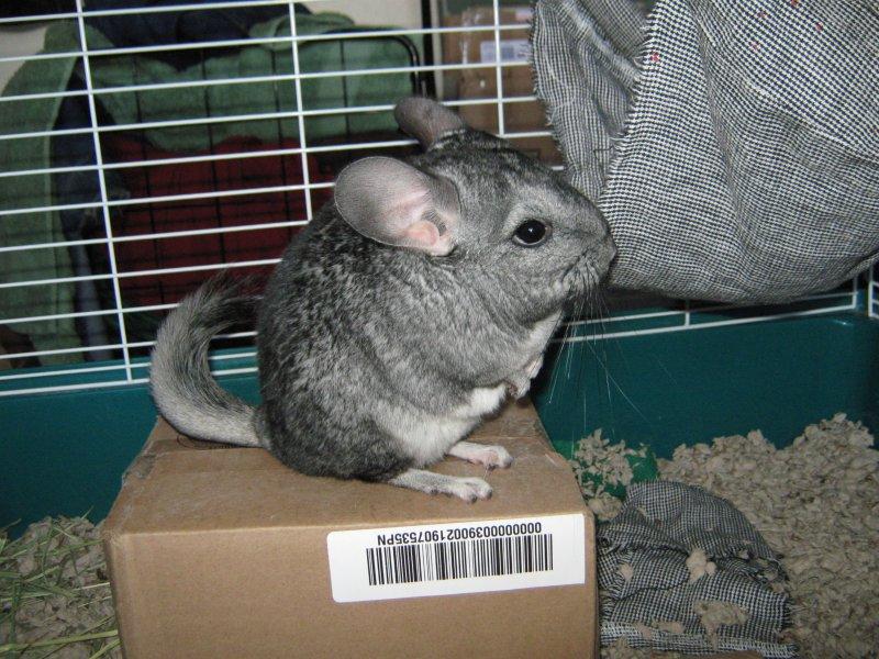 Chinchillas are like furry, cute puffballs. (wikipedia)