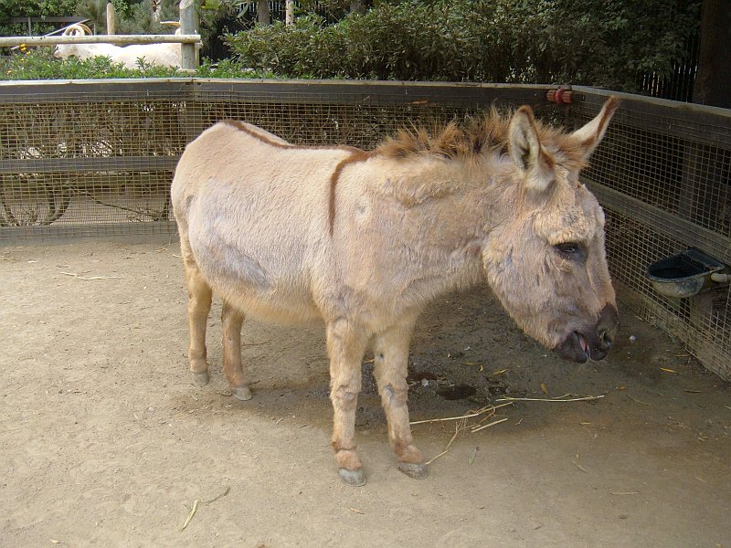 Miniature donkeys can grow up to 300 pounds but are docile and good around kids. (wikipedia)