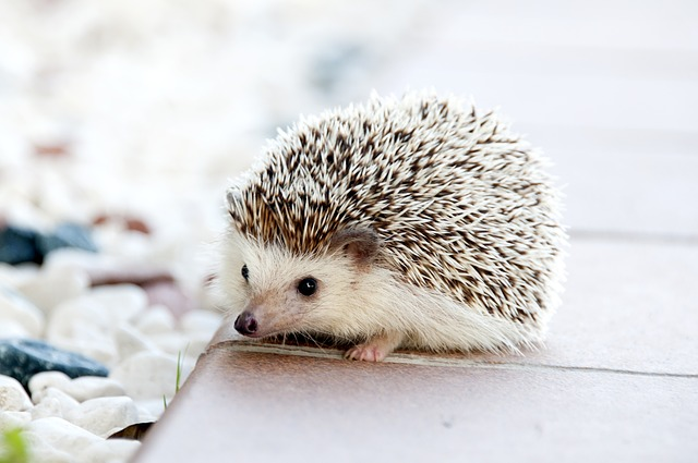 Hedgehogs are spiny balls of cuteness and fun. (pixabay)