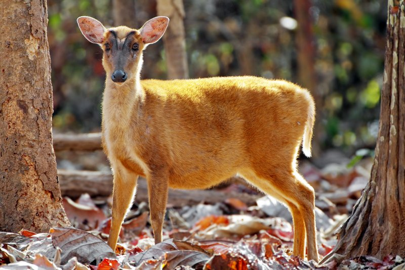 Muntjac deers are said to smell like newborn human babies. (wikipedia)