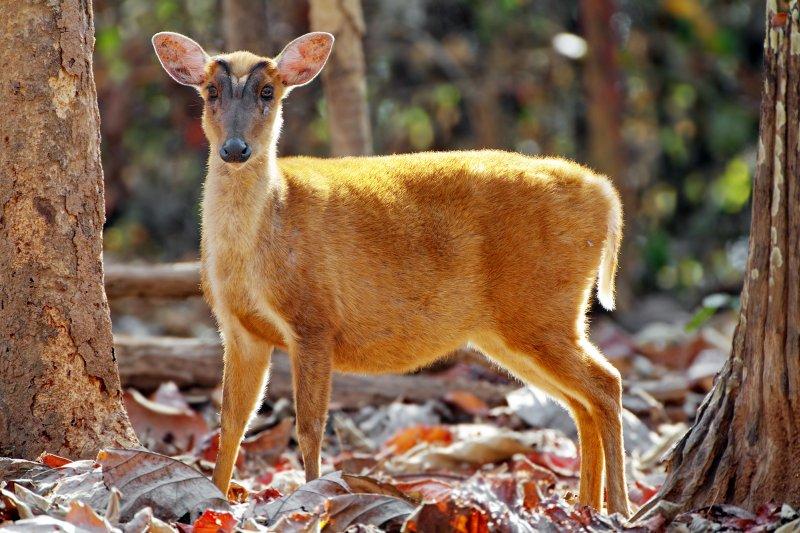 Muntjac deers are said to smell like newborn human babies. (wikipedia)