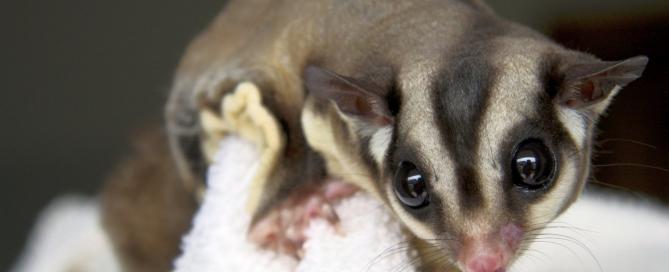 Who can resist those big bulging eyes? (wikipedia)